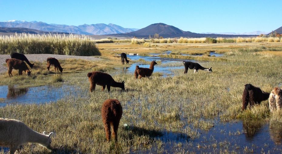 Llamas wading.