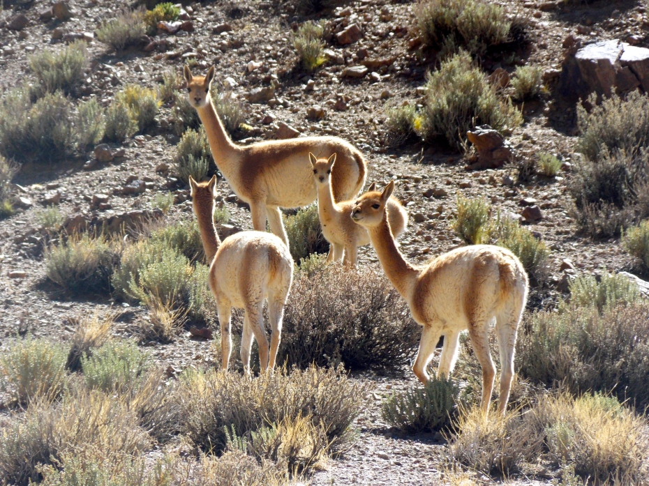 Vicunas grazing.