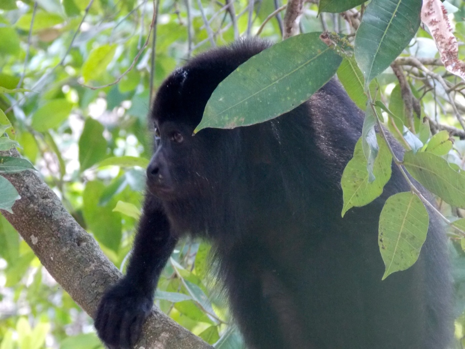 Spider monkey, deep in thought.